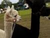 alpacas (6)